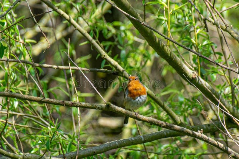Europese die Robin Erithacus-rubecula op een boomtak wordt neergestreken in de lente stock foto's
