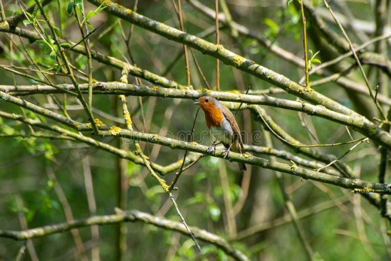 Europese die Robin Erithacus-rubecula op een boomtak wordt neergestreken in de lente stock afbeelding