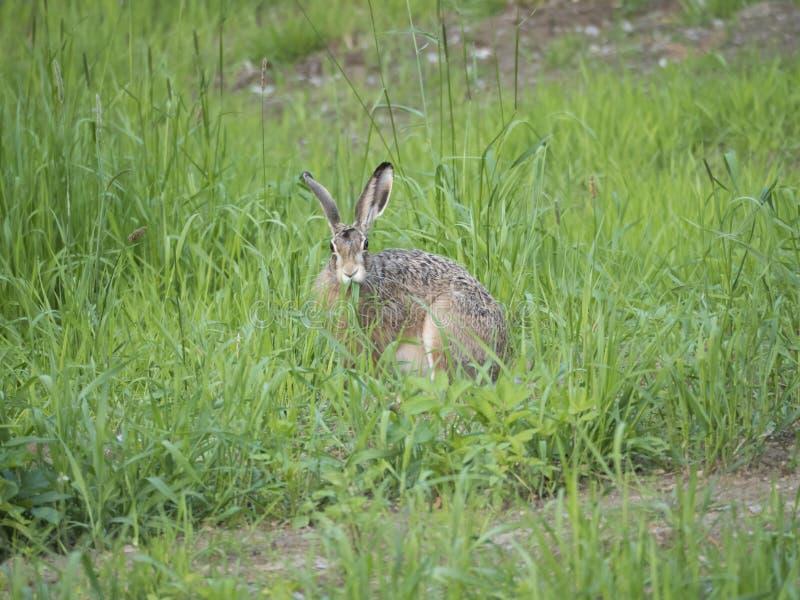 Europese europaeus van hazenlepus, die ook als bruine hazenzitting in een grasweide en het eten van gras wordt bekend gaat weg se royalty-vrije stock afbeelding