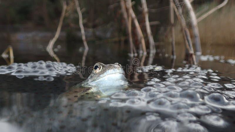 Europese of gemeenschappelijke kikker, Rana-temporaria, die door frogspawn wordt omringd Blackfordvijver, Edinburgh stock foto