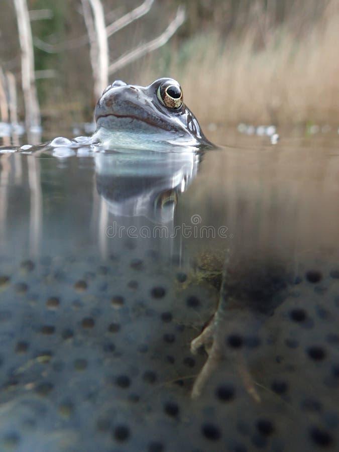 Europese of gemeenschappelijke kikker, Rana-temporaria, die door frogspawn wordt omringd Blackfordvijver, Edinburgh stock afbeeldingen