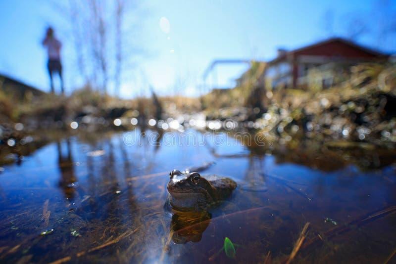 Europese Gemeenschappelijke Kikker, Rana-temporaria in het water brede hoeklens met de mens en huis Aardhabitat, de zomerdag in F royalty-vrije stock afbeelding