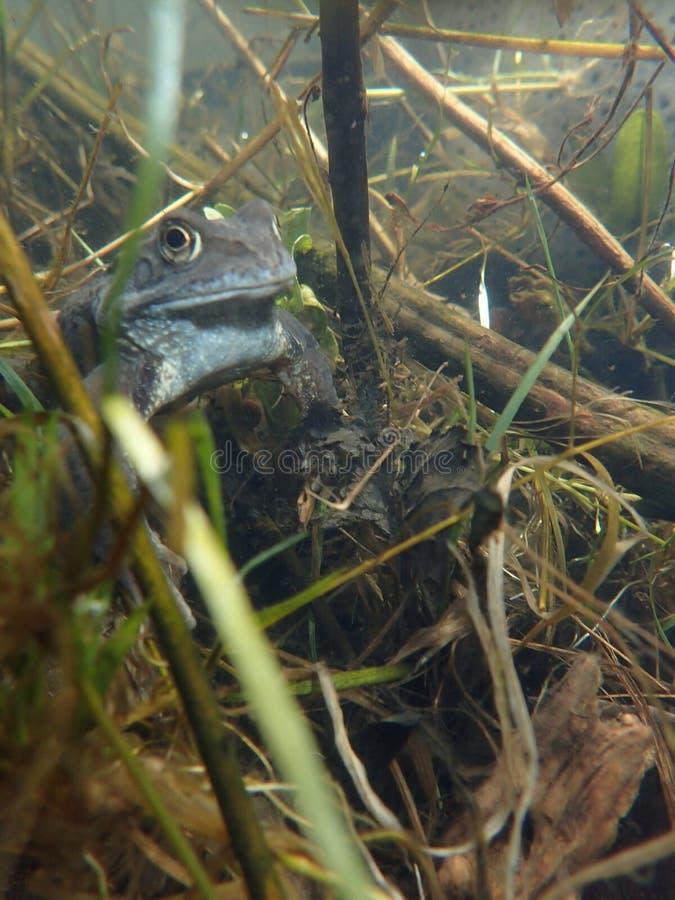 Europese of gemeenschappelijke kikker, Rana-temporaria, onderwater Blackfordvijver, Edinburgh stock foto