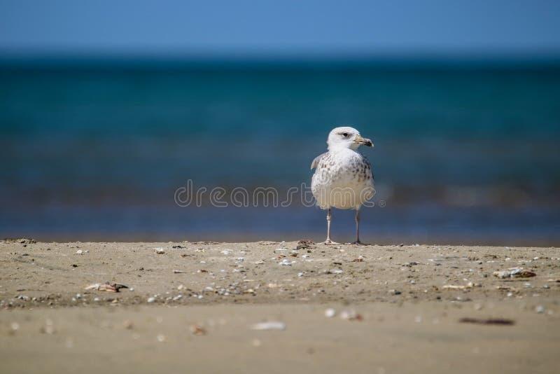 Europese haringenmeeuw in witte en bruine status op het strand stock fotografie