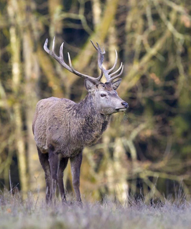 Europese herten - Europese kuiten royalty-vrije stock afbeeldingen