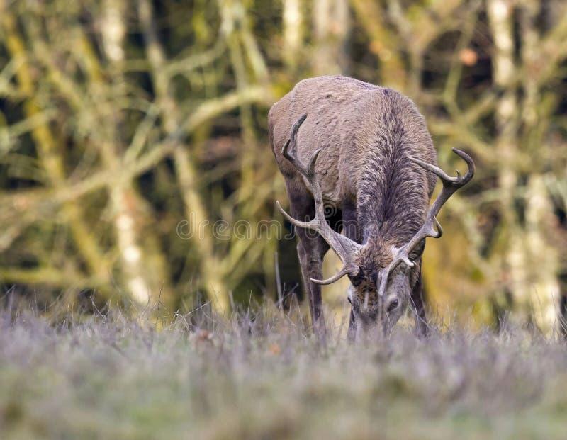 Europese herten - Europese kuiten royalty-vrije stock foto's