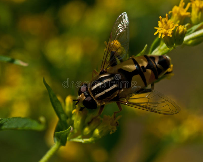 Europese hoverfly, Helophilus-trivittatus stock afbeeldingen