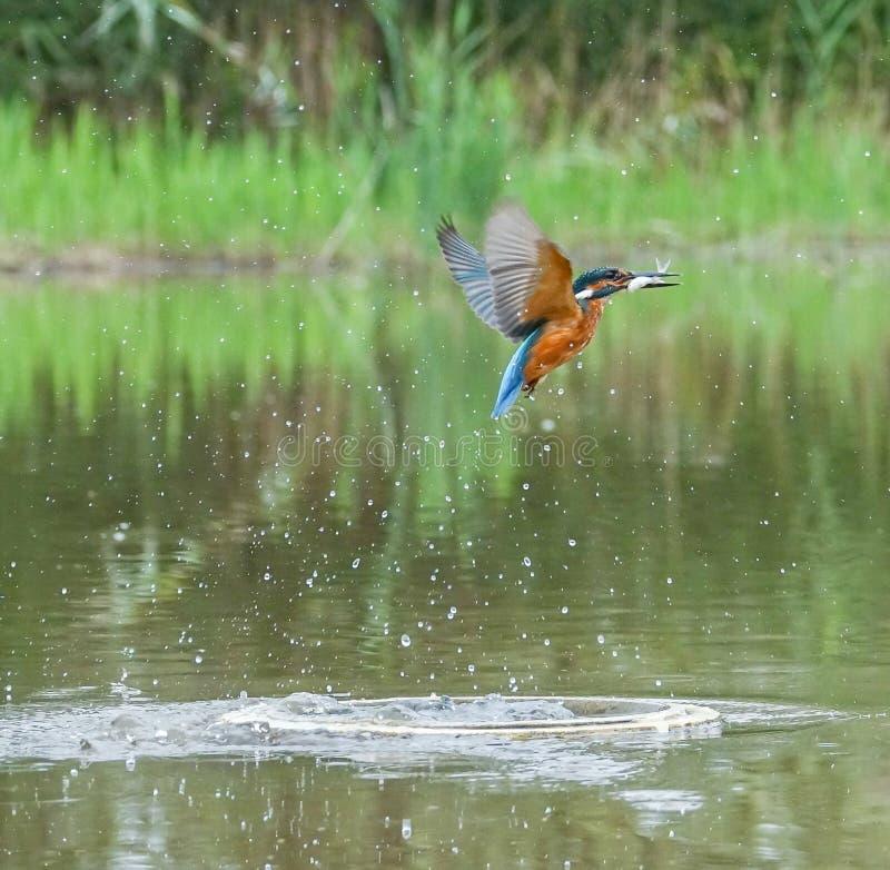 Europese Ijsvogel met prooi royalty-vrije stock afbeelding