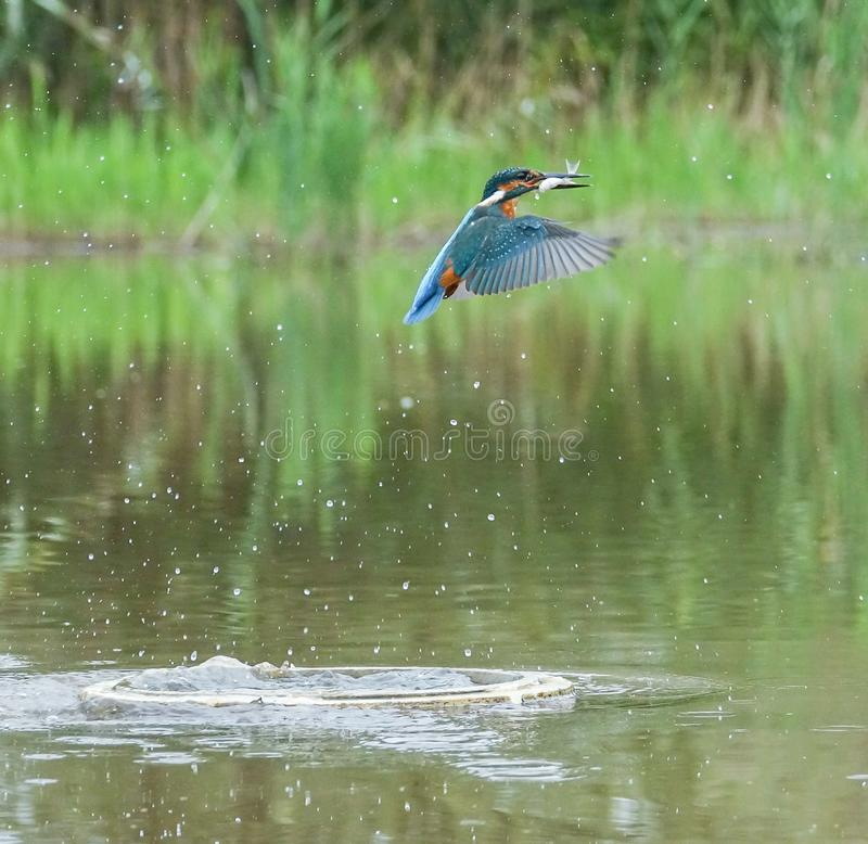 Europese Ijsvogel met prooi royalty-vrije stock fotografie