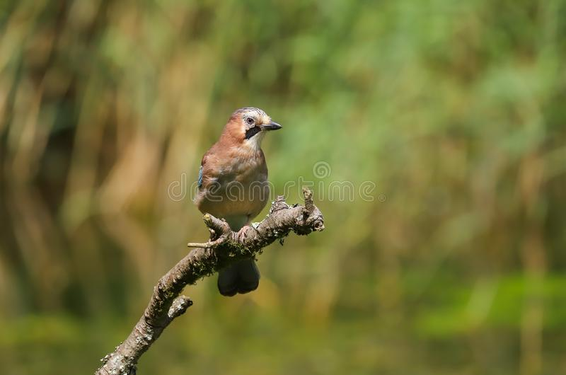 Europese Jay Garrulus-glandariusvogel stock afbeeldingen