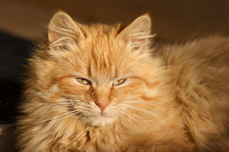 Europese kat royalty-vrije stock foto's