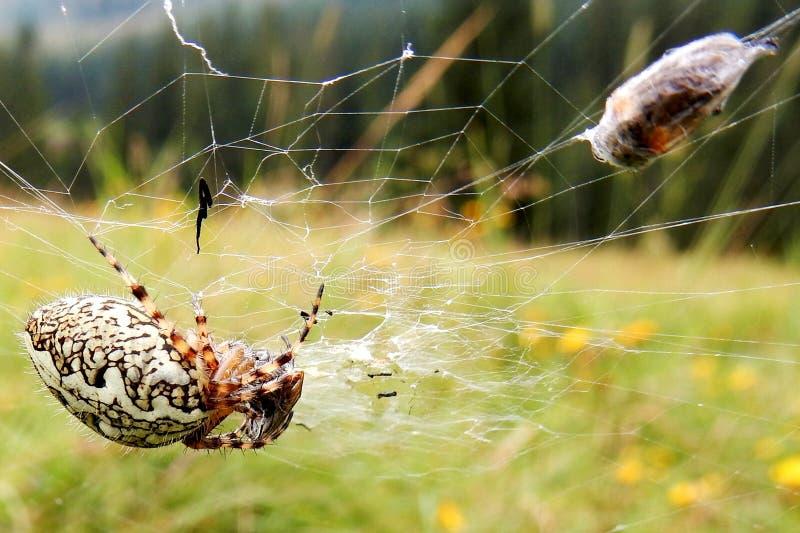 Europese kruisspin (araneusdiadematus) met vlieg verbindend in spiderweb royalty-vrije stock foto