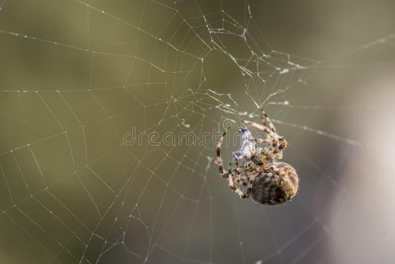 Europese kruisspinsingelband een wesp stock fotografie