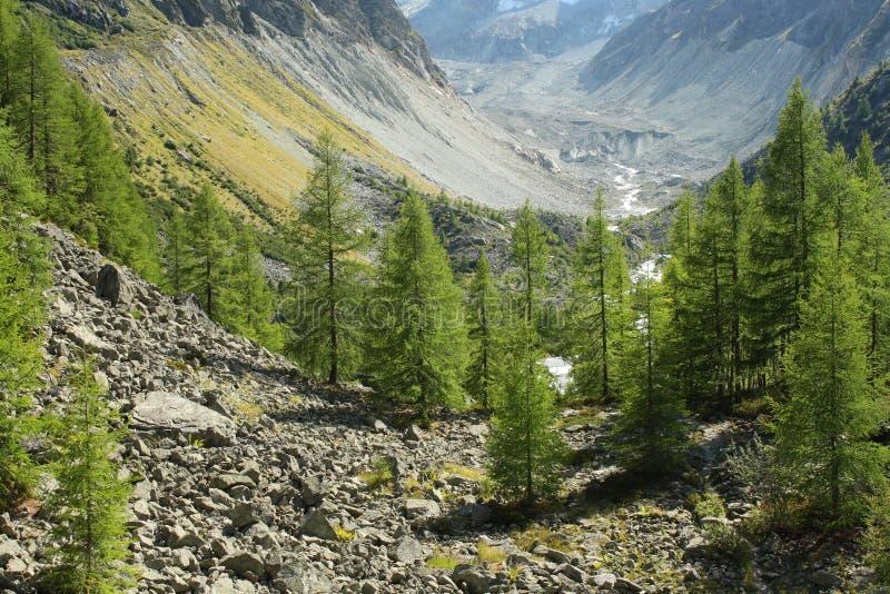 Europese lariksbomen die in vallei in Zwitserland groeien stock fotografie