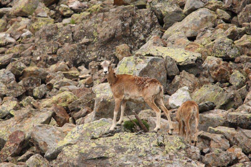 Europese mouflon stock afbeeldingen