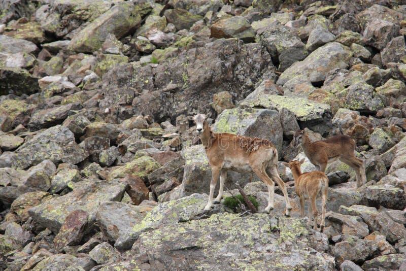 Europese mouflon royalty-vrije stock foto's