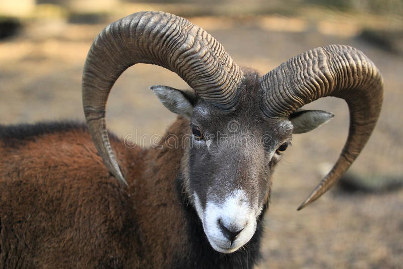Europese mouflon royalty-vrije stock afbeelding