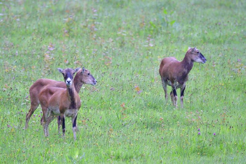 Europese mouflon stock foto