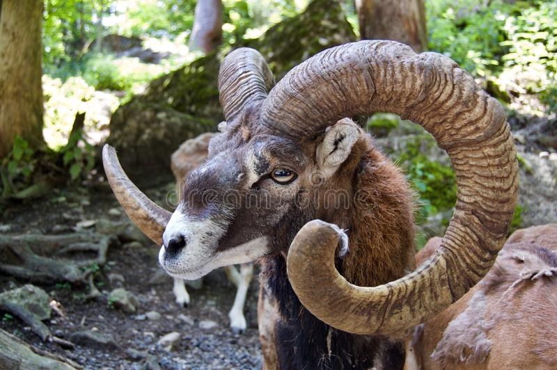 Europese mouflon royalty-vrije stock afbeeldingen
