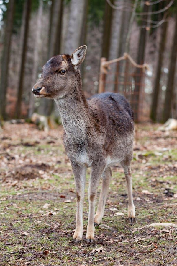 Europese mouflon in het Duitse bos royalty-vrije stock foto