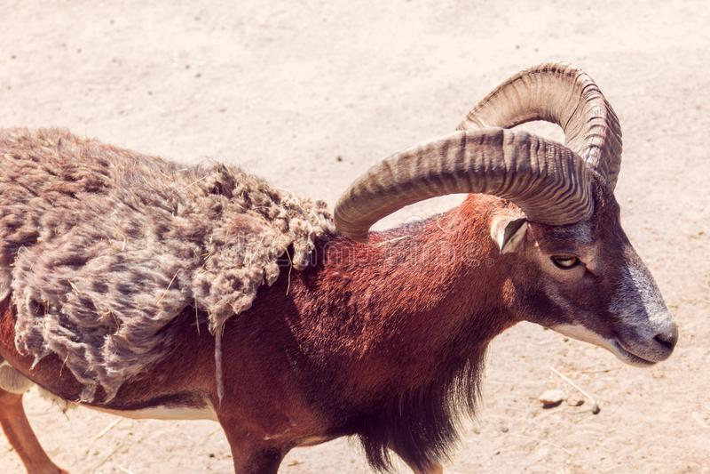 Europese mouflon op het zand royalty-vrije stock afbeelding