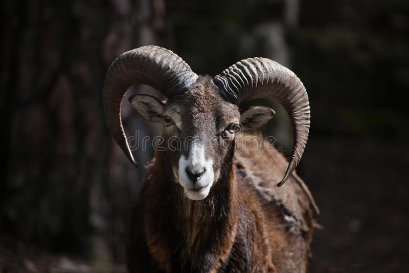 Europese Mouflon (orientalis Ovis musimon) royalty-vrije stock fotografie