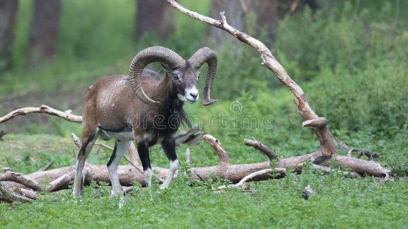 Europese mouflon - Ovis - orientalis musimon royalty-vrije stock foto's
