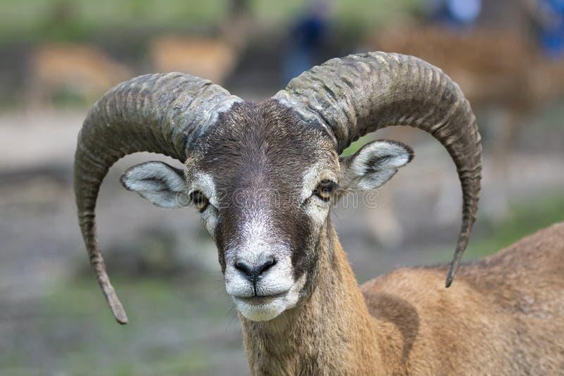 Europese mouflon - Ovis - orientalis musimon royalty-vrije stock afbeelding