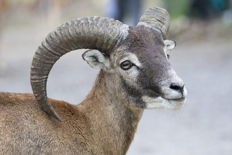 Europese mouflon - Ovis - orientalis musimon stock foto's