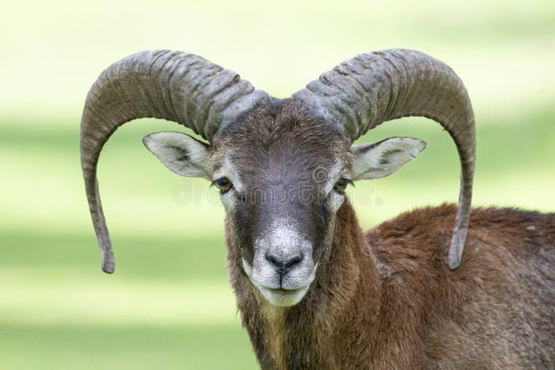 Europese mouflon - Ovis - orientalis musimon stock afbeelding