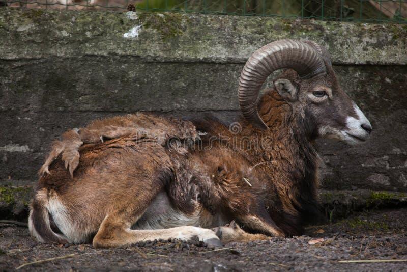 Europese mouflon & x28; Ovisorientalis musimon& x29; stock fotografie