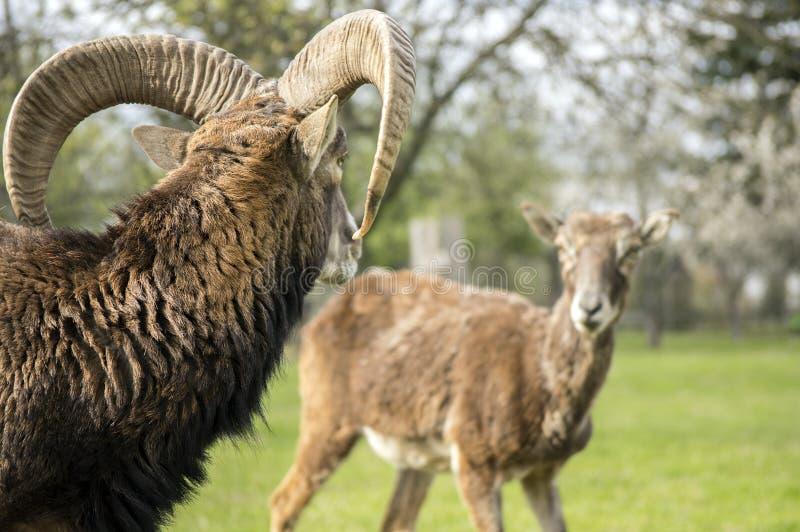 Europese mouflondieren, het mannelijke en vrouwelijke spreken royalty-vrije stock afbeelding