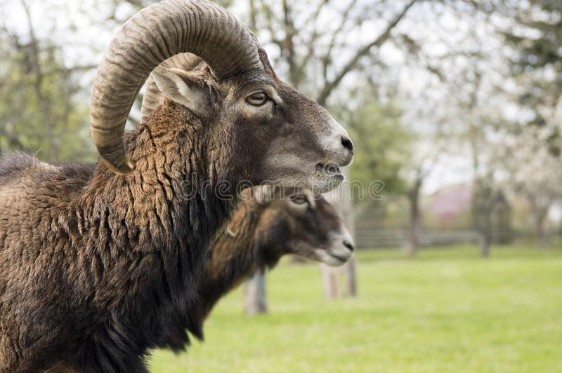 Europese mouflondieren, mannetje en wijfje stock afbeeldingen