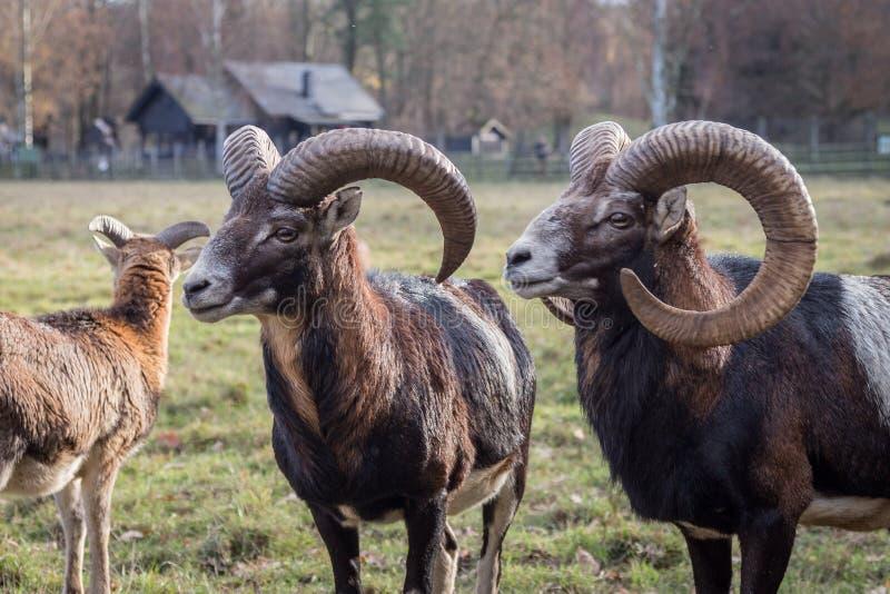 Europese Mouflons stock foto