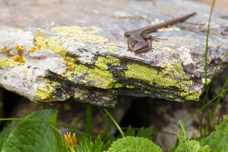 Europese Muurhagedis op korstmos behandelde rots stock foto