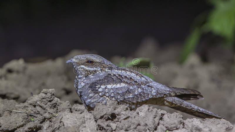 Europese Nightjar die op Grond inekrimpen royalty-vrije stock fotografie