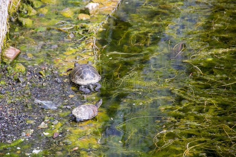 Europese orbicularis van Emys van de vijverschildpad royalty-vrije stock fotografie