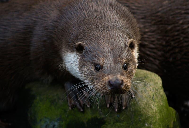 Europese Otter royalty-vrije stock fotografie