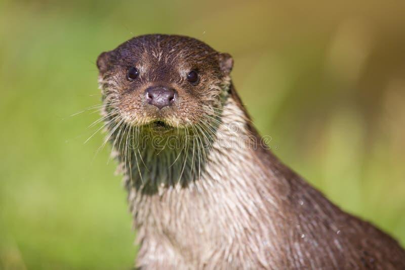Europese Otter stock foto's