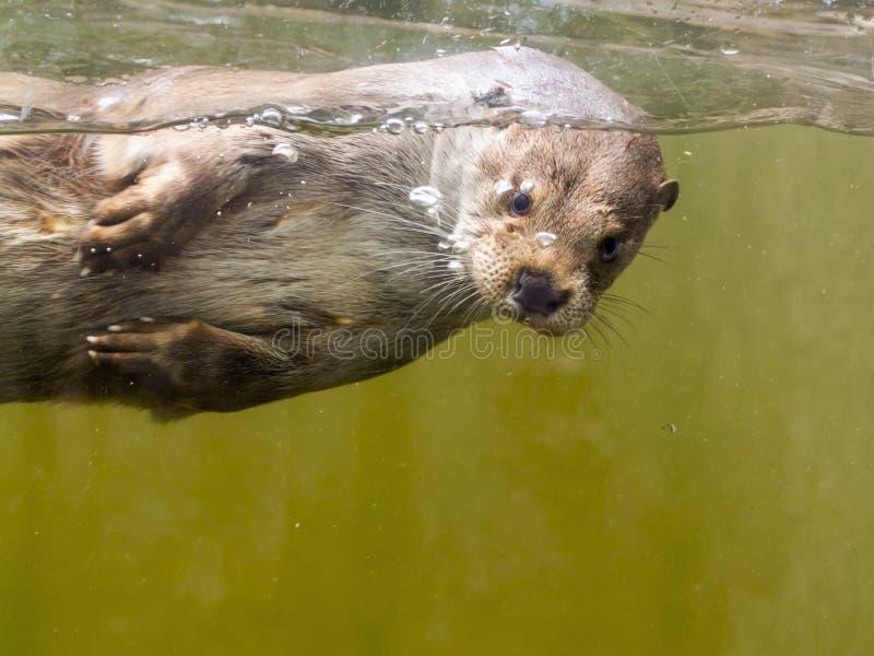 Europese otter (Lutra-lutralutra) stock afbeeldingen