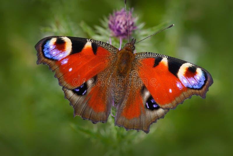 Europese Pauw, Aglais io, rode vlinder met ogen die op de roze bloem in de aard zitten De zomerscène van de weide beaut royalty-vrije stock foto's