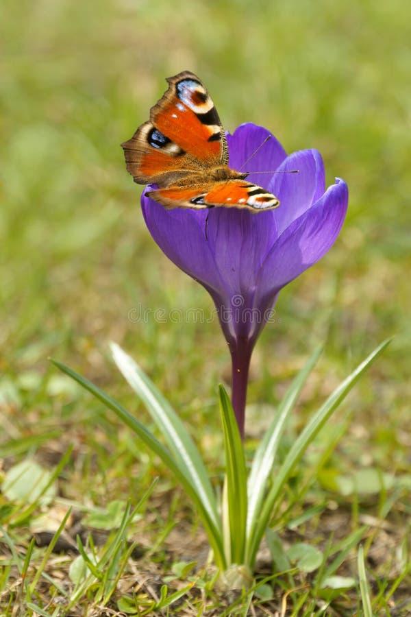 Europese Pauw Inachis io en Krokuskrokus L Saffraan in de lente royalty-vrije stock afbeelding