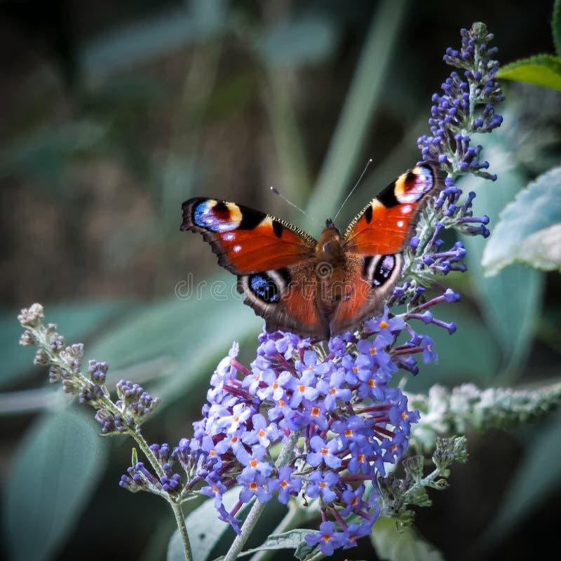Europese pauwvlinder royalty-vrije stock foto