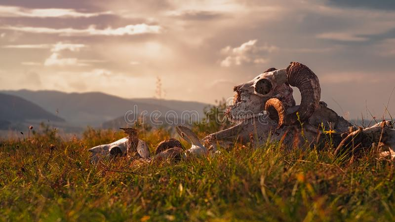 Europese ramsschedel in gras royalty-vrije stock foto's