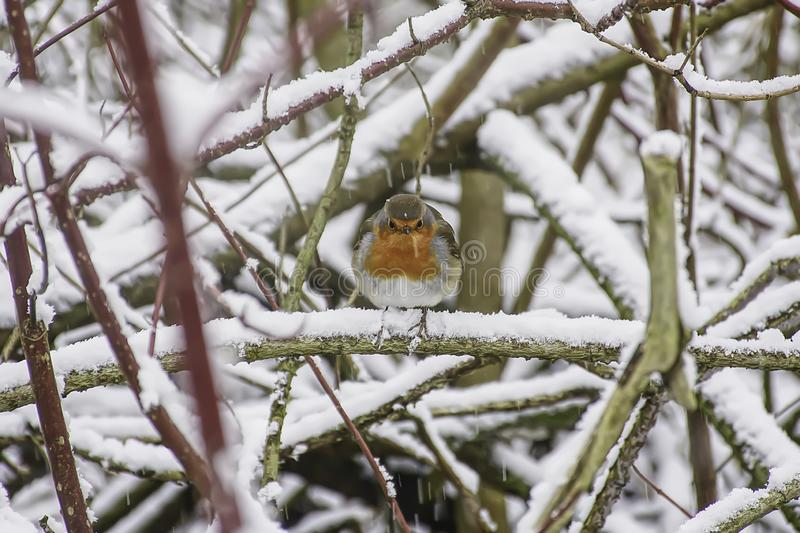 Europese Robin in de winterlandschap royalty-vrije stock foto's
