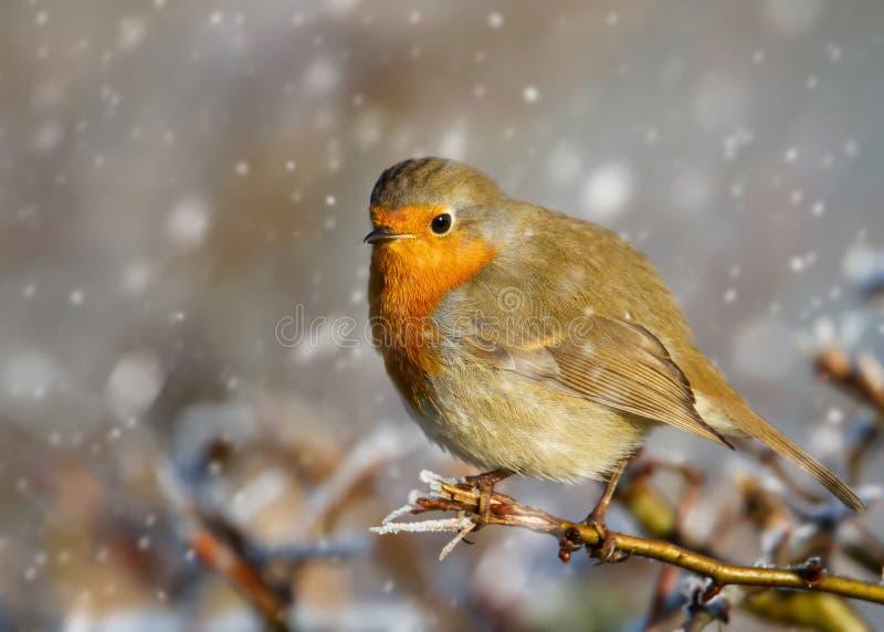 Europese Robin die op een boomtak neerstrijken in de dalende sneeuw stock foto