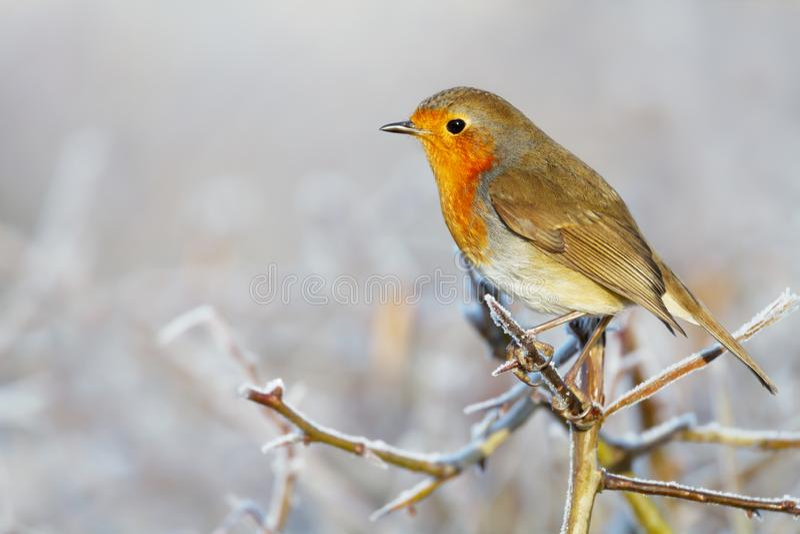 Europese Robin die op een boomtak neerstrijken in de winter royalty-vrije stock foto