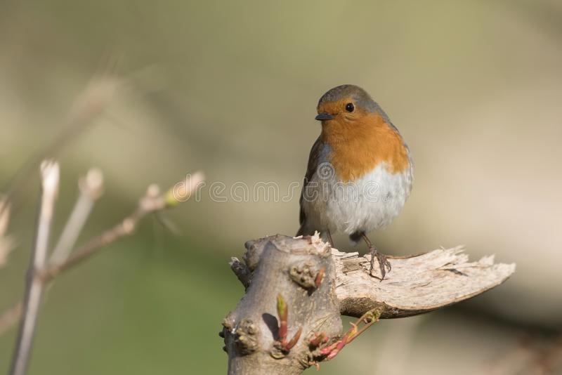 Europese Robin, Robin, Erithacus-rubecula royalty-vrije stock foto's