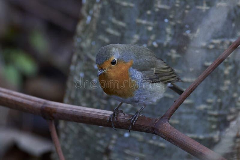 Europese Robin Erithacus-rubecula stock fotografie