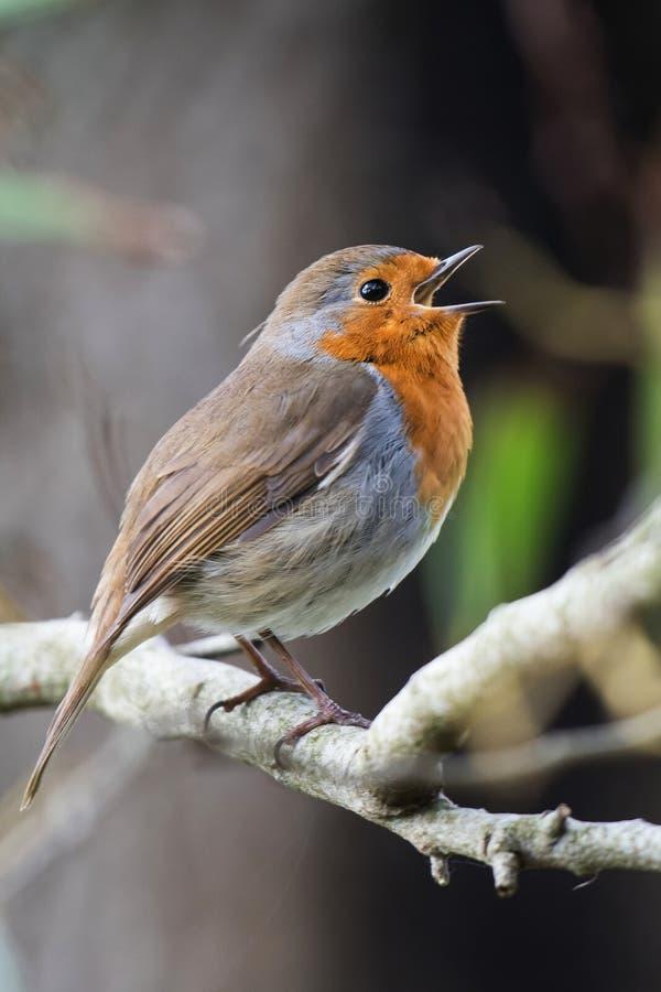 Europese Robin, Erithacus-rubecula royalty-vrije stock foto's
